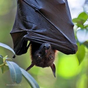 wolf bat