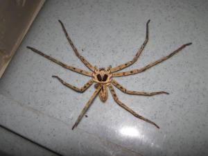 cane spider
