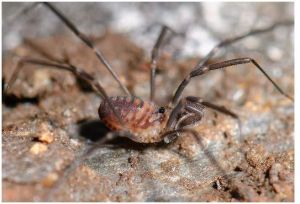 The genus Sabacon uses modified pedipalps with sticky fluids attached to the ends of hairs, which are used to catch prey.
